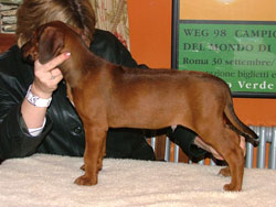 Hooz Veldt Vibex Kammer Red Wheaten Rhodesian Ridgeback Dog at 7wks old