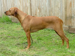 Rhodesian Ridgeback Red Wheaten Bitch 'Choki'
