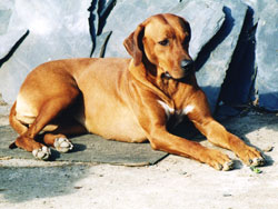 Rhodesian Ridgeback Red Wheaten Bitch