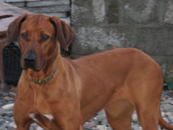 'Fiz' Rhodesian Ridgeback Red Wheaten Bitch