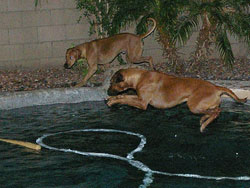 'Keira' The Rhodesian Ridgeback In the Swimming Pool!!!